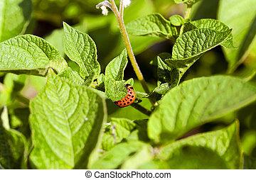 Colorado beetle potato - Colorado potato beetle larva...