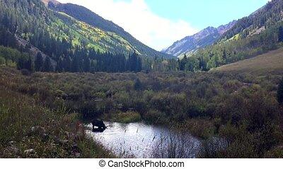 Moose Feeding in the Conundrum Creek Colorado