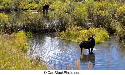 Moose Feeding in the Conundrum Creek Colorado