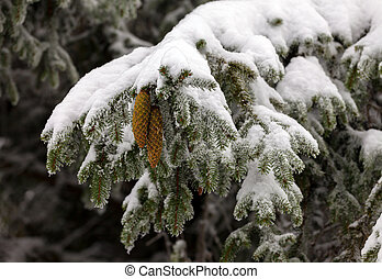 Fir cone on a branch - Fir cone on a branch Fir cone on a...
