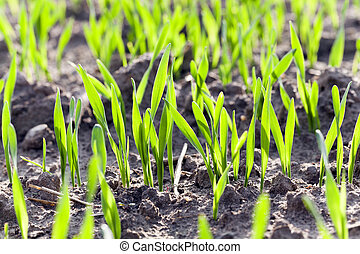 wheat germ field - photographed close-up of green wheat...
