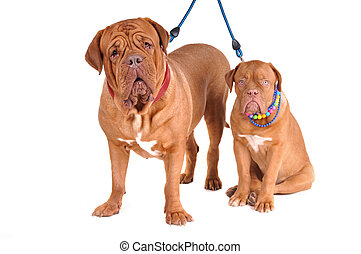 Dogue De Bordeaux Family - Happy Family of Dogues de...
