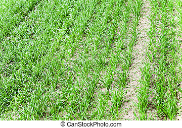 immature cereals . wheat - immature cereals - photographed...