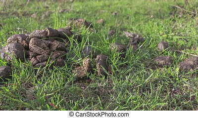 Dry cow dung  - the dried animal excrements on the lawn