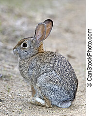 Brush Rabbit - Sylvilagus bachmani - Newport Beach, CA