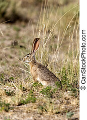 Black-tailed Jackrabbit - Lepus californicus - Willcox, AZ