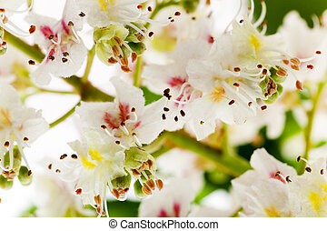 blooming chestnut tree - photographed close-up of chestnut...