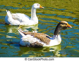 geese - Gaggle of White Domestic Geese Swimming in Pond