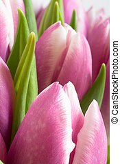 Fresh spring tulips - Close up photo of fresh pink tulips