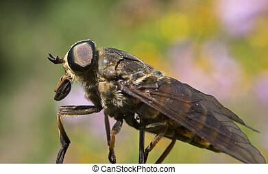 Gadfly - dangerous insect