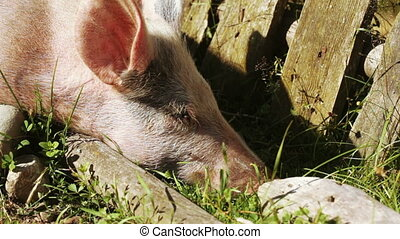 Pig in nature - In corral is on nature of pig