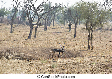 Black buck - A black buck in the wild in Rajasthan, India