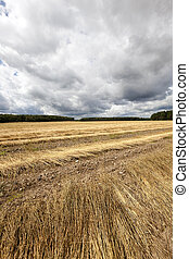 Agricultural field . flax - Agricultural field on which flax...