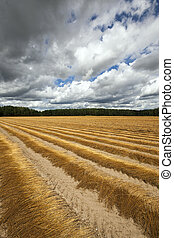 Flax field . autumn - Agricultural field on which was...