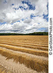 Agricultural field flax - Agricultural field on which flax...