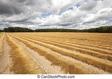 Flax field autumn - Agricultural field on which was recently...