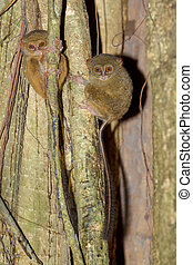 Tarsius spectrum,Tangkoko National Park, Sulawesi - very...