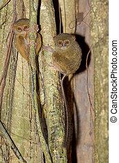 Tarsius spectrum,Tangkoko National Park, Sulawesi - very...