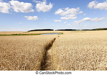 path in the field - people trampled path passing through an...