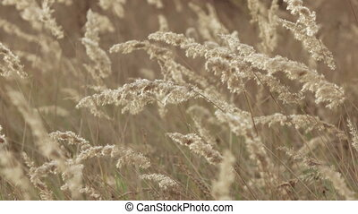 Spikelets of grass - Growing grass in garden spikes in...