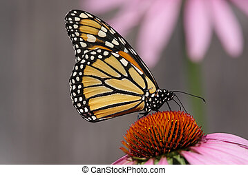 Monarch Butterfly (danaus plexippus) on purple cone flowers...