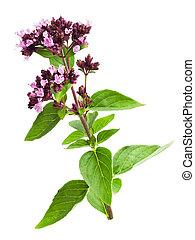 Wild oregano - Wild marjoram (oregano,origanum) isolated on...