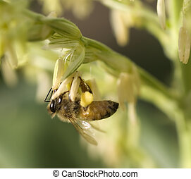 honey bee worker collecting pollen from flower of corn plant...