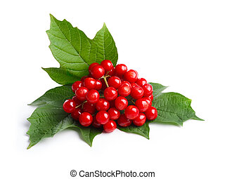 Viburnum viburnum opulus berries with its leaves isolated on...
