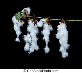 Close up of cotton plant with bolls