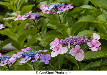 closeup of hortensia flowers - blue and pink hortensia...