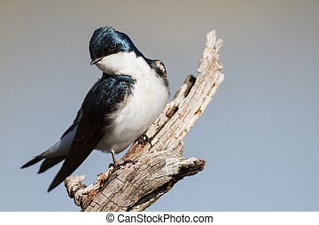 Tree Swallow perched and staring - Tree Swallow framed on...