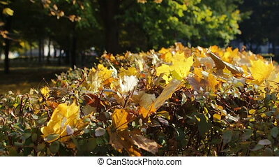Happy girl walking in autumn park and collects yellow fallen...