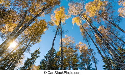Autumn Birches And Fly In Sky - Yellow autumn birches and...