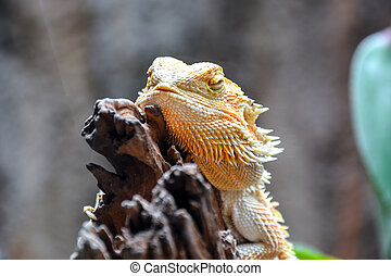 Sleeping bearded dragon
