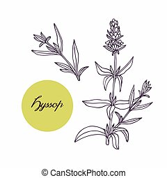 Hand drawn hyssop branch with leaves isolated on white. Hand...