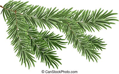 Green lush spruce branch. Fir branches. Isolated on white...