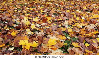 Autumn bright maple leaves fall down and cover the ground -...