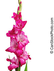 Gladiolus isolated on white background