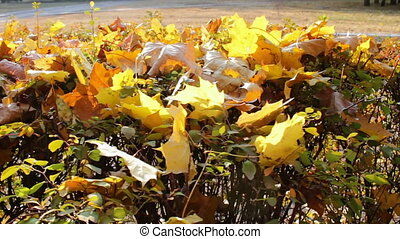 Yellow fallen leaves on the bushes in the park.