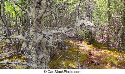 Usnea filamentous Usnea filipendula on tree branches in...
