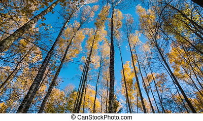 Autumn Birches And Blue Sky - Yellow autumn birches and blue...