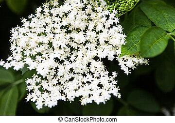 White flowers of the black elder (Sambucus).