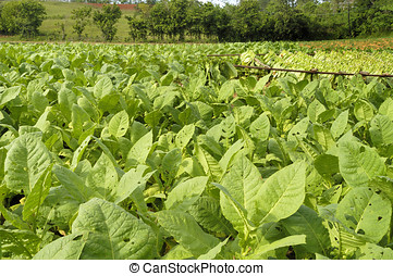 Tobacco field in Cuba just before the harvest...