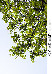 Green branches of the walnut tree against the white cloudy...