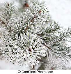 Coniferous branches covered with hoarfrost Close up