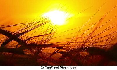 ears of ripe wheat against setting sun, timelapse - ears of...