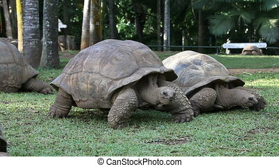 two Big Seychelles turtles in park. Mauritius. - Big...