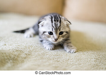 Gray kitten of breed Scottish Fold sitting on  couch