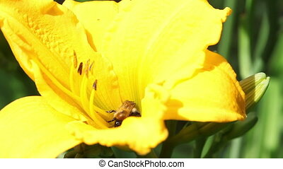 Bee on a yellow lily Close up in a sunny day