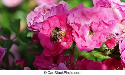Bee on pink rose Close up in a sunny day